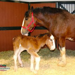 Welcome, Mac: First Budweiser Clydesdale foal of the season