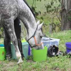 Feeding endurance horses: Oil, fibre, and the carbo connection