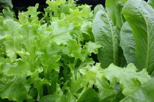 alface e outras verduras
