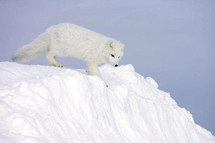 1-arctic-fox-alopex-lagopus-on-snow-drift-matthias-breiter