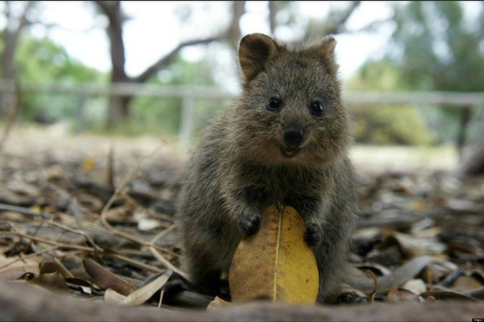 o-QUOKKA-HAPPIEST-ANIMAL-facebook