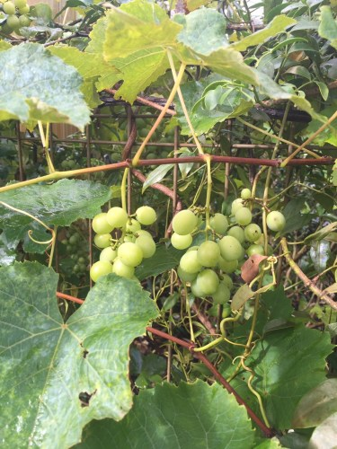 Growing grapes along a dividing fence