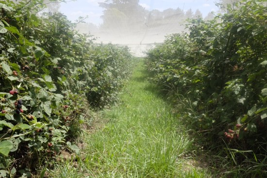 Rows of blackberry bushes