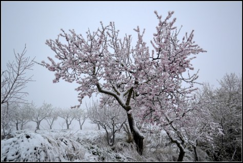 identifying an almond tree in order to harvest almonds can be pretty easy. IT is a short, bushy tree with beautiful delicate flowers; be sure that you have done your own research rather than relying on our information.