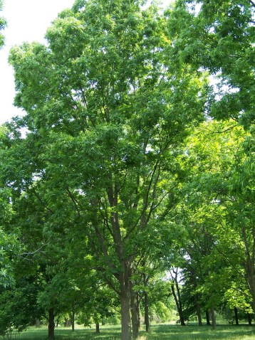 A beautiful mature pecan tree during the spring and summer months.