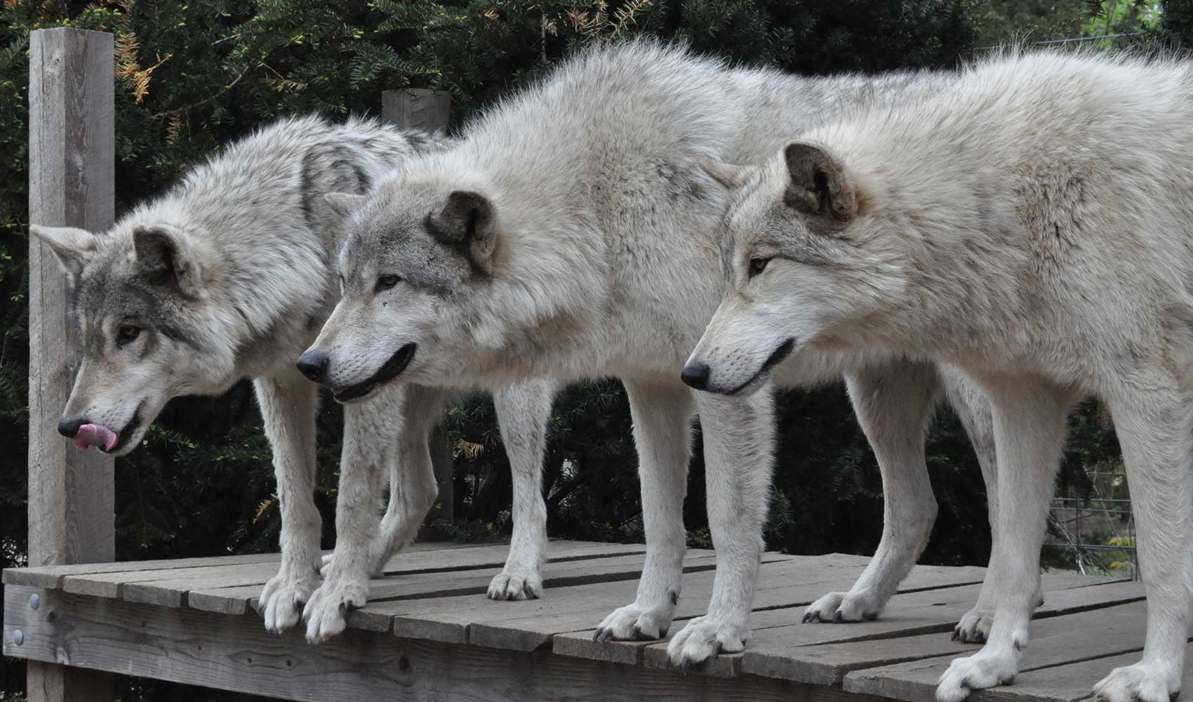 Cheerful Make An Appointment To Visit Our Farm Woods Wolfdogs Animal Rescue Public Charity Nj Famous Direwolf Names Famous Wolf Names Male bark post Famous Wolf Names