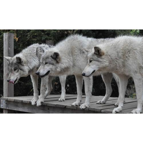Medium Crop Of Famous Wolf Names