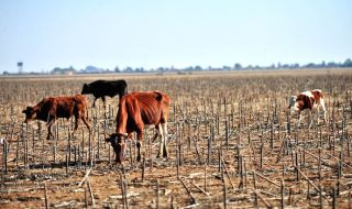 drought-cows-_690x450_crop_80