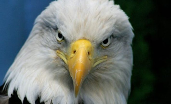 bald_eagle-normal closeup
