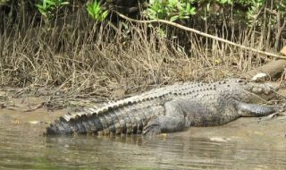 crocodile Scarface Daintree River Queensland