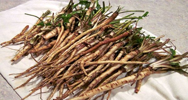 scientists-find-root-that-kills-98-of-cancer-cells