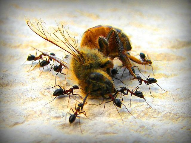 going to bed hungry,ants eating bee