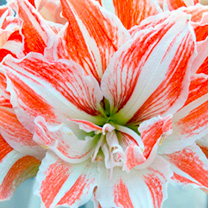 Amaryllis flower head close up