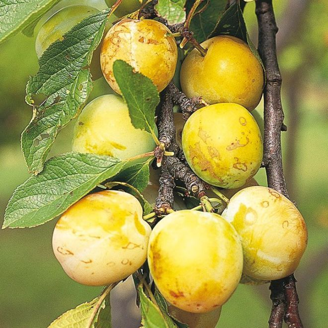 Gage And Plum Trees Growing Guide Suttons Gardening Grow How