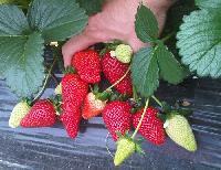 El objetivo, prolongar la vida de la fruta.
