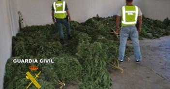 Plantas de marihuana aprehendidas en Almonte.