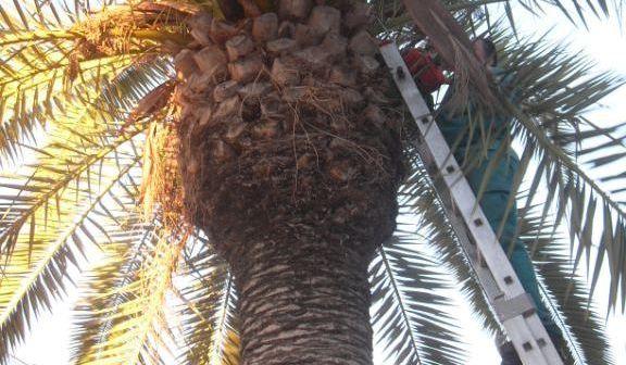 Limpieza de palmeras en Bollullos.