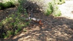 Tala de pinos en Punta Umbria 01