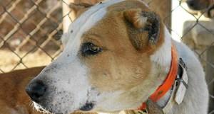 (Uno de los perros de caza con las orejas mutiladas / elpais.com)
