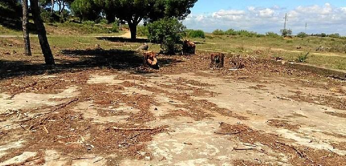 Foto tala de pinos en Cartaya