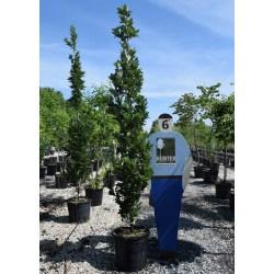 Small Crop Of Regal Prince Oak