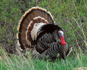 Merriam's Turkey