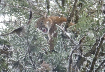 montana cougar hunts