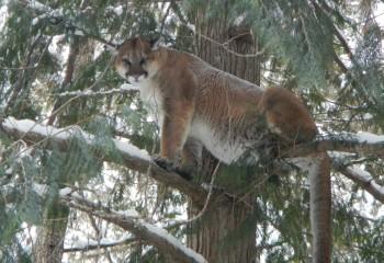 Montana Mountain Lion Hunt 2014