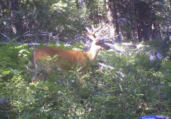 Montana whitetail deer