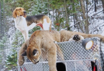 montana cougar hunting