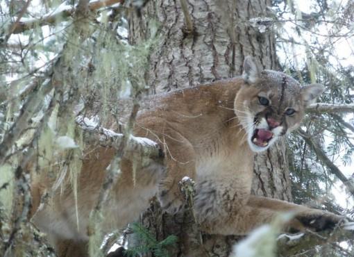 Montana Mountain Lion hunts