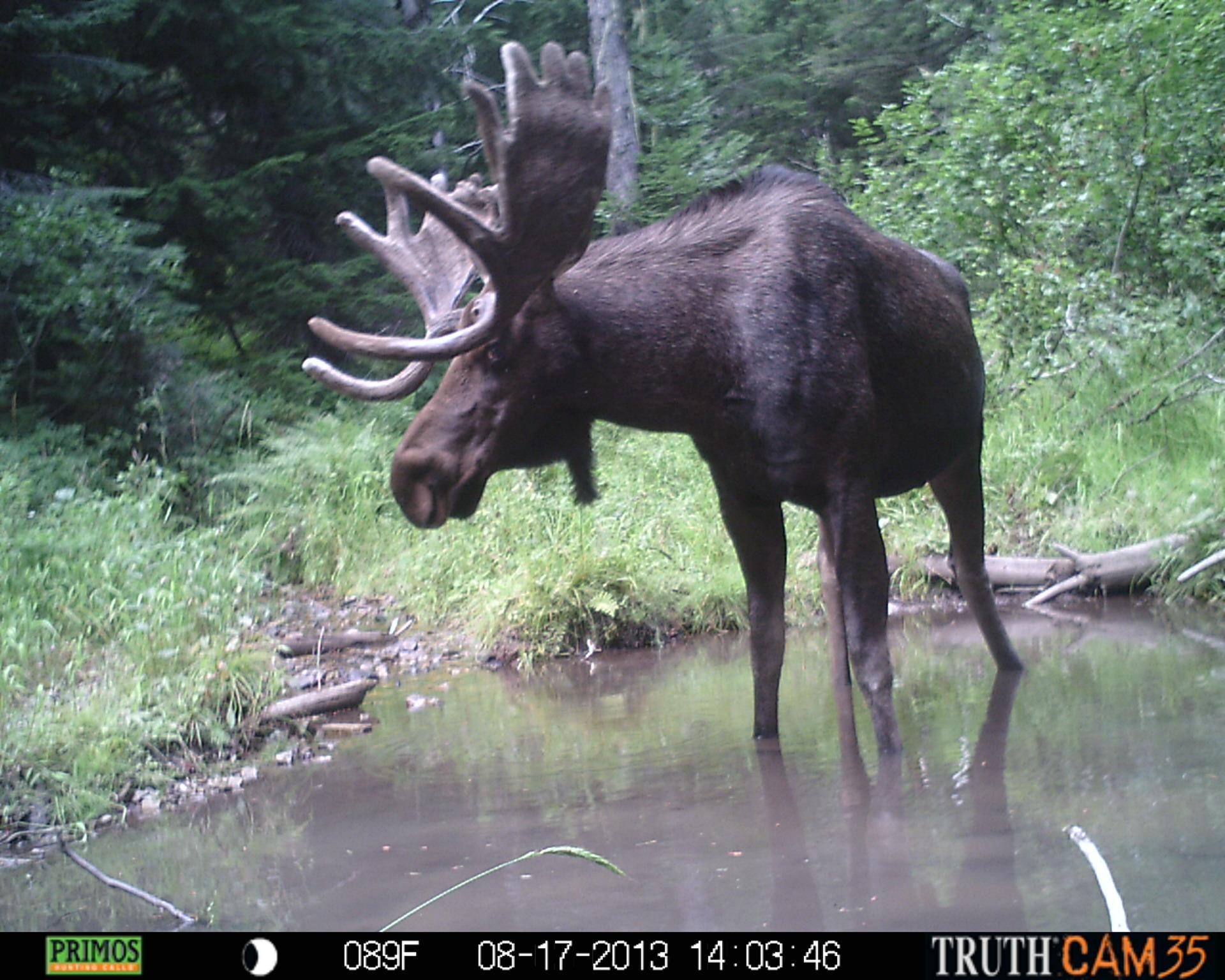 Moose Trail Cam photos
