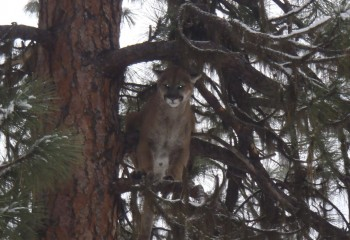 Cougar hunting Montana Outfitter (2)