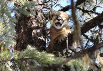 Cougar hunting Montana Outfitter (4)