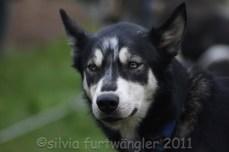Huskyhof im Waldviertel - Schlittenhunde - Schlittenhundeausfahrten - Huskys - Huskyausfahrten