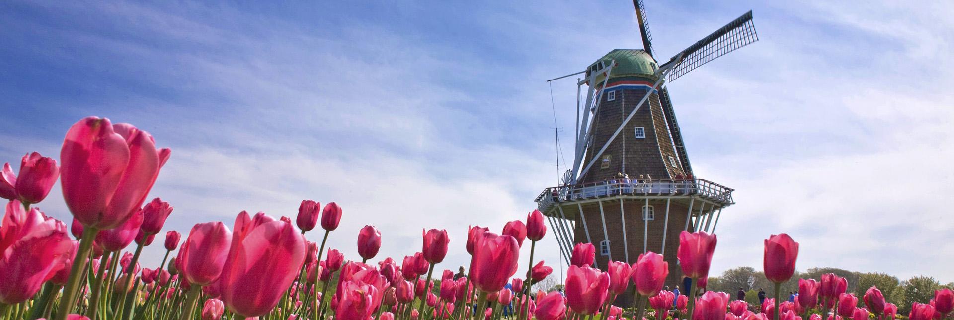 windmill-tulips-wallpaper2