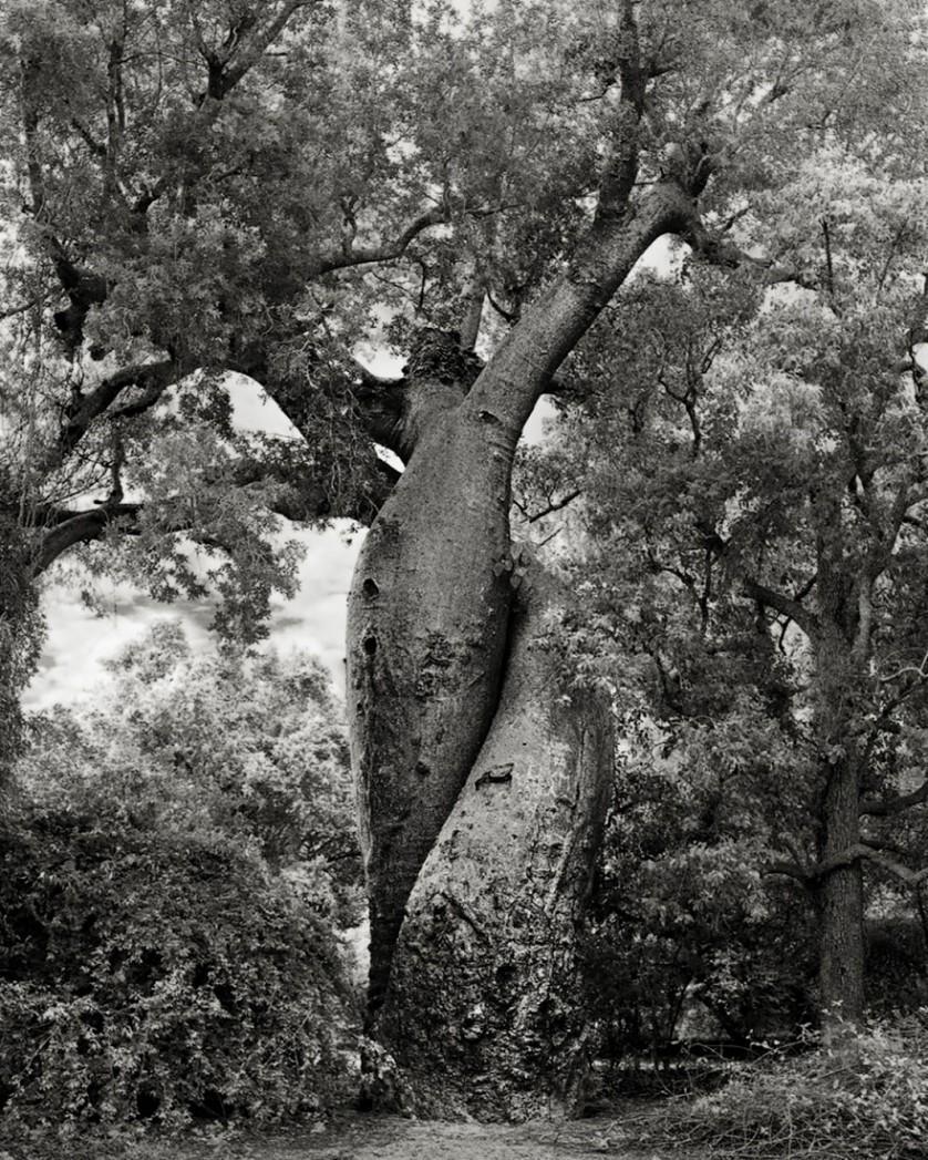 vecchi alberi 20