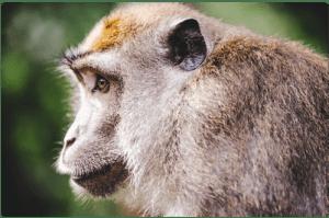 le singe et le principe d'utilisation en hypnose