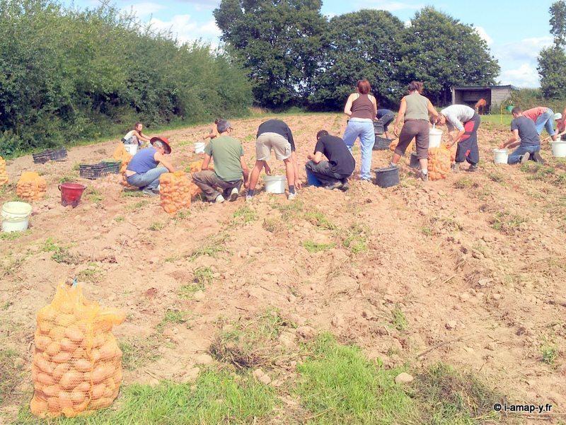 Collecte des pommes de terre