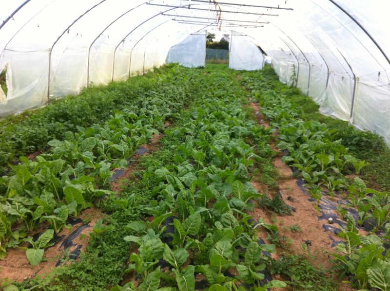 Légumes sous serre i-amap-y