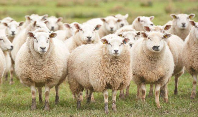 una de ovejas idcoach