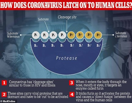 Coronavirus attaches to human cells by deceiving an enzyme which can make it 'fuse' to proteins inside the body and cause the infection