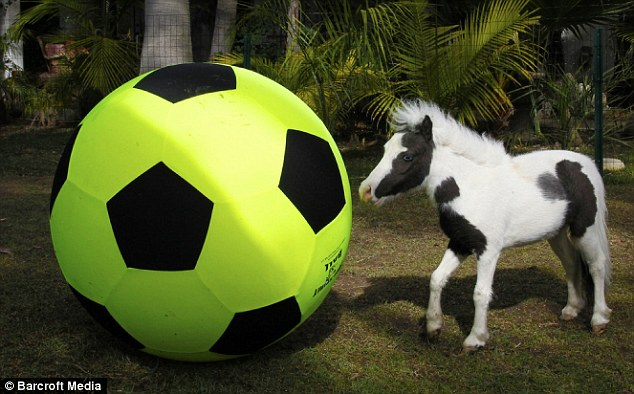 Having a ball: Einstein is even smaller than a football but that doesn't stop him using his nose to push the ball around