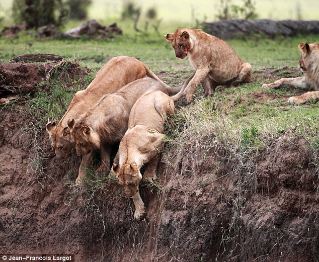 On the brink: Four lionesses look over the edge before aborting their rescue mission because of the sheer drop