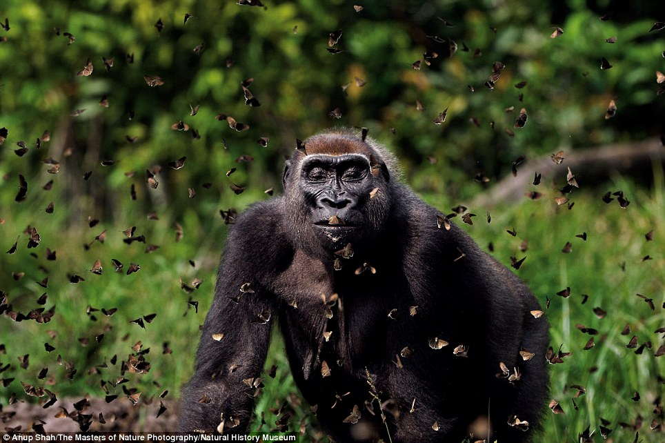 Flying around: Anup Shah's photograph shows a western lowland gorilla walking through a cloud of butterflies she has disturbed in the Central African Republic