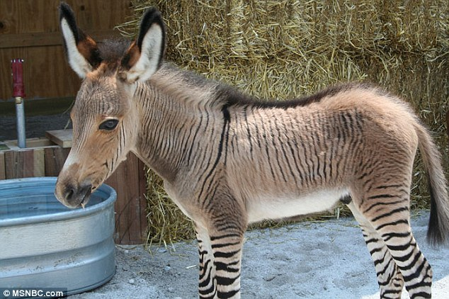 Ippo is a rare zonkey - the offspring of a zebra father and a donkey mother. She has characteristics of both her parents' species