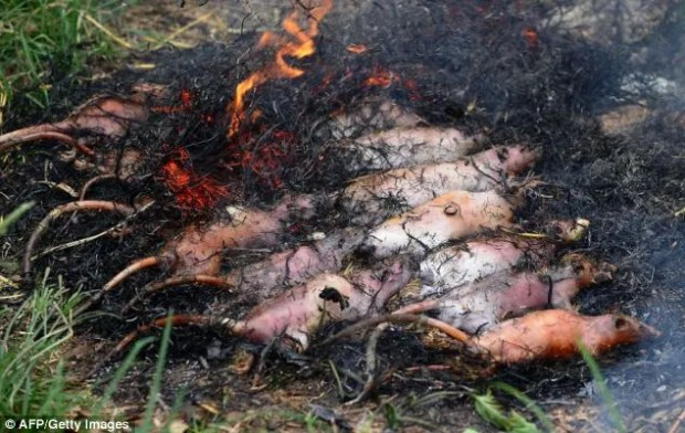 Tasty morsel: Rats cooking on an open fire in Dan Phuong on the outskirts of Vietnam's capital Hanoi