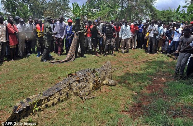 Handful: The powerful beast measured 18ft long and weighed approximately a tonne. It is thought to be over 80-year-old
