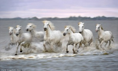 White Camargue horses race along France's Rhone River in extremely rare photographs | Daily Mail ...