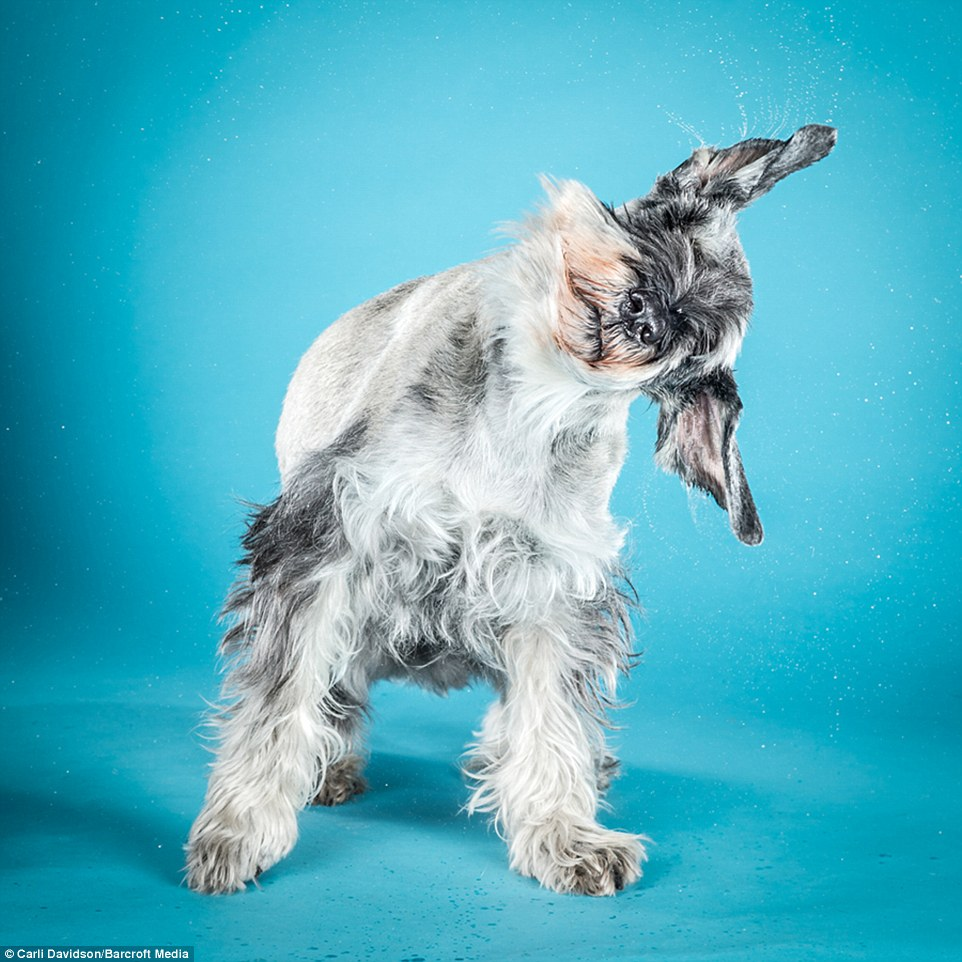 Creative Licking Lips Drip A Schnauzer Tips Its Head To Side As Water Drips From Its Soaking Wet Dogs Dry Mselves Off Series Body Dog Keeps Shaking Head Images Dog Keeps Shaking Head bark post Dog Keeps Shaking Head